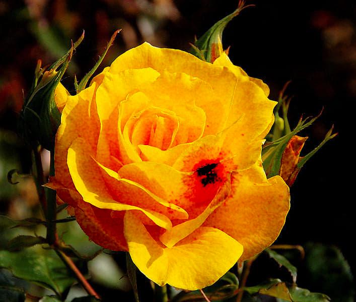 amarilla1